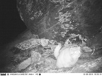 New Nepalese Cat Discovered Deep in Himalayas! MEOW! - Bites ... | Environmental_Issues | Scoop.it