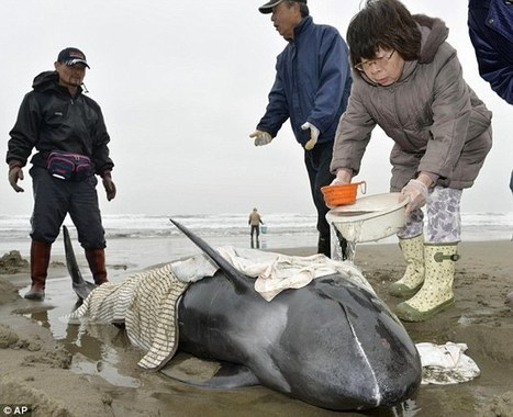 #Volunteers call off #rescue operation to save 149 #Dolphin in #Japan :(  v  Gudrun Wiesflecker  FB | Rescue our Ocean's & it's species from Man's Pollution! | Scoop.it