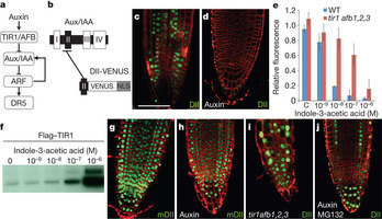 Nature - A novel sensor to map auxin response and distribution at high spatio-temporal resolution | Plant Cell Biology and Microscopy | Scoop.it