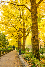 Ginkgo: The Life Story of The Oldest Tree on Earth by Roger Cohn: Yale Environment 360 | Erba Volant - Applied Plant Science | Scoop.it
