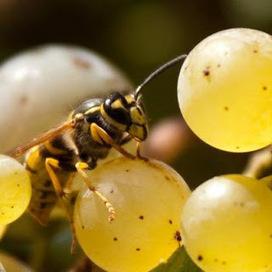 Dia del medio ambiente: Cambio climático, avispas, levaduras y vino | microBIO | Scoop.it