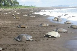 60,000 green turtle eggs and 30 turtles stolen from Tortuguero in less than 1 week - Inside Costa Rica | Inquiry about the world | Scoop.it