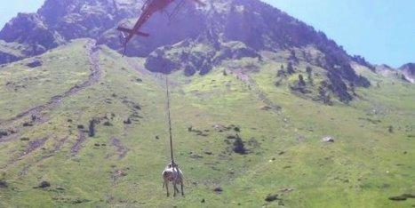 Vidéo : une vache secourue par hélicoptère dans les Hautes-Pyrénées | Vallée d'Aure - Pyrénées | Scoop.it