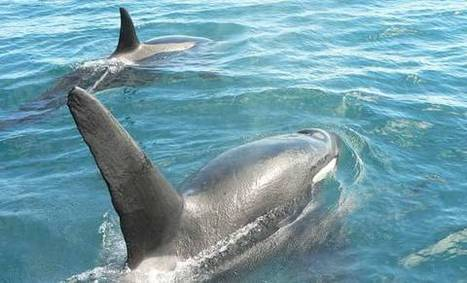 Killer whale/orca: New Zealand marine mammals | Seahorse Project | Scoop.it