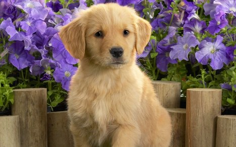 A Definitive Guide for Choosing a Golden Retriever Puppy | Florida Golden Retriever puppies for sale | Scoop.it