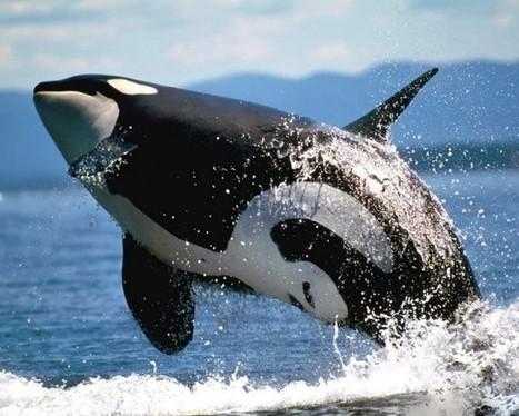 SeaWorld cancela sus espectáculos de orcas (pero las mantendrá en cautiverio) | Agua | Scoop.it