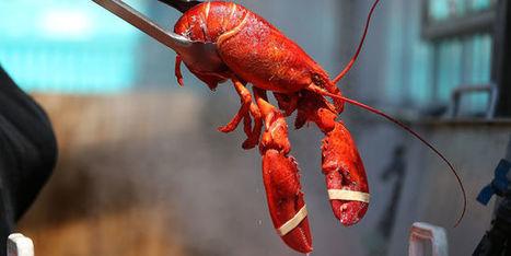 En Suède, le homard américain se noie dans un verre d'eau | EntomoNews | Scoop.it