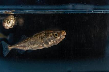 Female sticklebacks prime their offspring to cope with climate change | Climate Chaos News | Scoop.it
