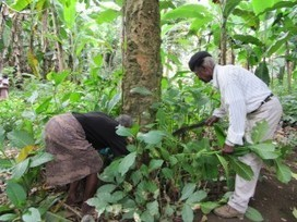 Analysis of African Plant Reveals Possible Treatment for Aging Brain | Social Neuroscience Advances | Scoop.it
