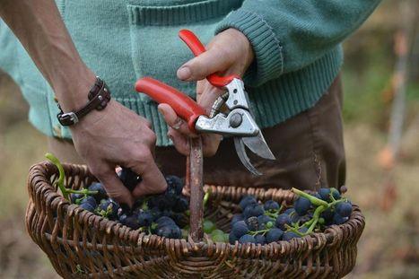 Un viticulteur poursuivi pour avoir refusé de traiter ses vignes | Fruits et Légumes d'Aquitaine | Scoop.it