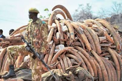 Elephant ivory tusk smuggling through Dubai to be stopped | Wildlife and Environmental Conservation | Scoop.it