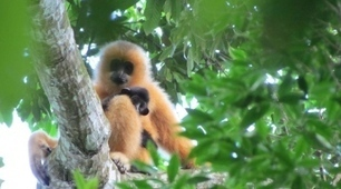 World's rarest primate faces extinction | WWWBiology | Scoop.it