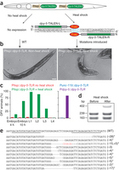Conditional targeted genome editing using somatically expressed TALENs in C. elegans - Nature Biotech. | Scientific Information & News | Scoop.it