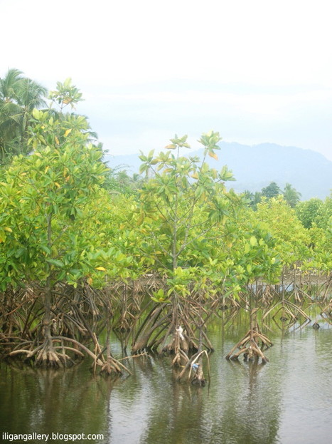 "200 mangrove trees planted in Masantol - Sun.Star (""better late then never"") 