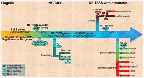 PLOS Genetics: The Non-Flagellar Type III Secretion System Evolved from the Bacterial Flagellum and Diversified into Host-Cell Adapted Systems | Effectors and Plant Immunity | Scoop.it