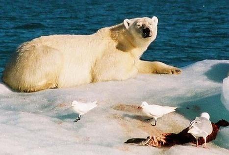 Arctique - Svalbard : les balades des ourses Kara et... N26220  © Paul Kerrien - http://toilapol.net | Hurtigruten Arctique Antarctique | Scoop.it