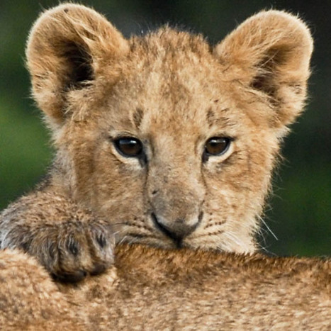 Walking for Lions to Save Them | Human-Wildlife Conflict: Who Has the Right of Way? | Scoop.it