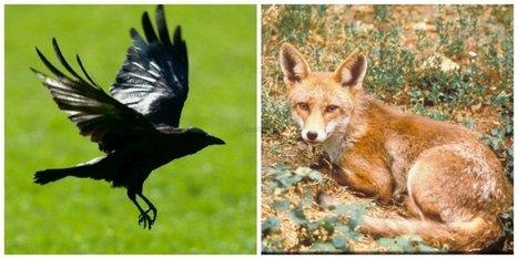 Haro sur les corneilles noires et les renards en Dordogne | Agriculture en Dordogne | Scoop.it