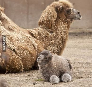 Have you ever seen a baby camel before? | Mommy and Me | Pinterest | Mi Mamá me mima | Scoop.it