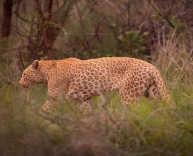 Move Over Yuka: Meet the True Pink Panther | e-Expeditions | e-Expeditions News | Scoop.it