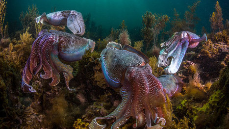 Squid Are Thriving While Fish Decline #acidification #oceans #extinction | Messenger for mother Earth | Scoop.it