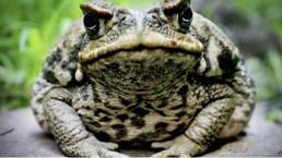 La menace des crapauds buffle pèse sur Madagascar | Ecology view | Scoop.it