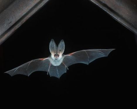 Europe - Geographic - Good News for Bats? Species Bouncing Back in Europe | Africa - Europe - Australia, Antarctica, Oceania | Scoop.it