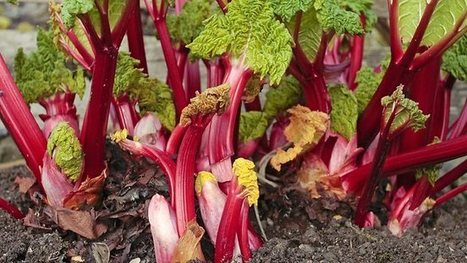 Peter Cundall: How to protect rhubarb plants from soaring summer heat - Weekly Times Now | Gardening is more than Digging the Dirt | Scoop.it