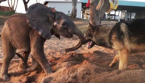 Dog Helps Sad Baby Elephant See The Brighter Side Of Life | Why Nature Matters | Scoop.it