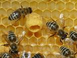 Kraliçe Arı | Red Honey Macun | saglik | Scoop.it