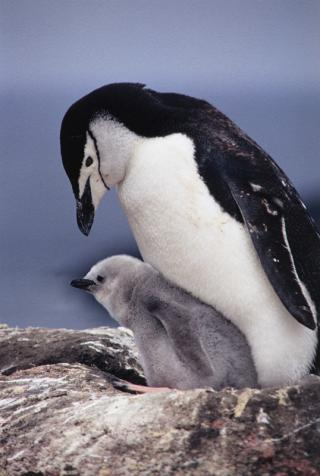 Chinstrap Penguins | All about water, the oceans, environmental issues | Scoop.it