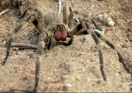 """L'araignée banane ou le """"viagra"""" à huit pattes   EntomoNews   Scoop.it"""