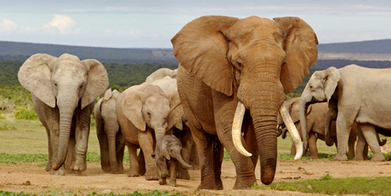 Summary of deal made to save elephants at IUCN Summit in Botswana | Wildlife Trafficking: Who Does it? Allows it? | Scoop.it