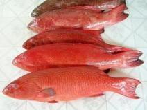 NOAA Fisheries seeks comments on Proposed Changes to Red Grouper allowable Harvest in The Gulf | Aquaculture Directory | Aquaculture Directory | Scoop.it