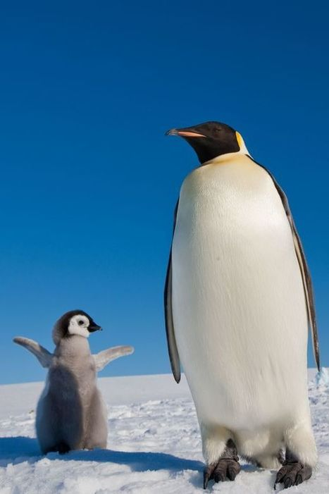21 Reasons Penguins are the best animals in the world | Oceans and Wildlife | Scoop.it
