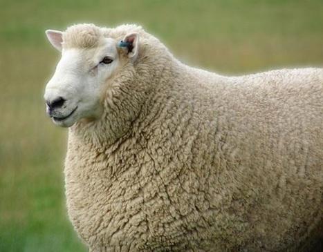 Des moutons connectés pour créer un réseau WiFi à la campagne ? | Hightech, domotique, robotique et objets connectés sur le Net | Scoop.it