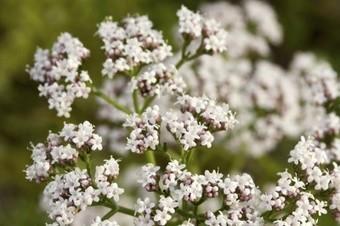 Une plante pour contrer le stress : la valériane - Le Vif | Le stress | Scoop.it