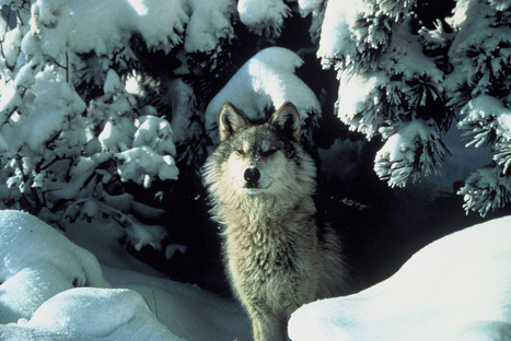 The future of Mexican gray wolf reintroduction program | GarryRogers Biosphere News | Scoop.it