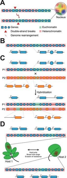 PLoS Pathogens (2016): Chromatin Biology Impacts Adaptive Evolution of Filamentous Plant Pathogens | WU_Phyto-Publications | Scoop.it