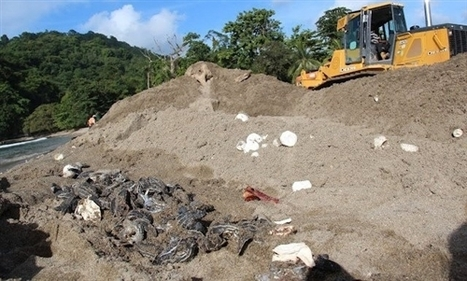 Up to 20,000 sea turtle eggs crushed by bulldozers on Caribbean island | A Sense of the Ridiculous | Scoop.it