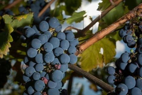 Bouleversements climatiques: la vigne française doit s'adapter | Insolite DD | Scoop.it