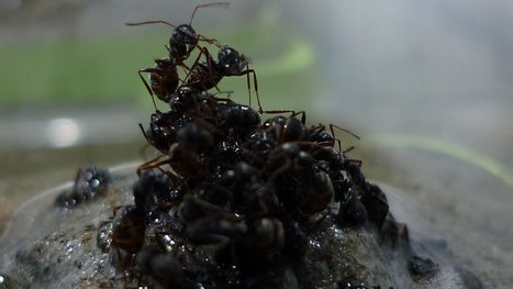 In a Flood, Ants Really Come Together | All About Ants | Scoop.it