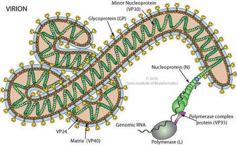 ViralZone: Ebolavirus | Virology News | Scoop.it