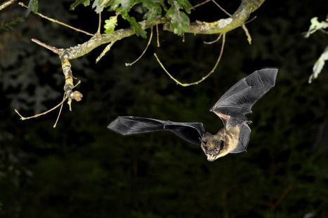 "Climate Change Will Affect Ultrasonic Bat Signals | Buffy Hamilton's Unquiet Commonplace ""Book"" 
