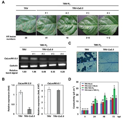 CaLecRK-S.5, a pepper L-type lectin receptor kinase gene, confers broad-spectrum resistance by activating priming | Extracellular ATP and ectoapyrase in plants | Scoop.it