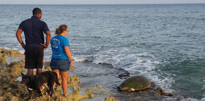 Cayman: Poachers disturbed - Turtle rescued | Wildlife Trafficking: Who Does it? Allows it? | Scoop.it