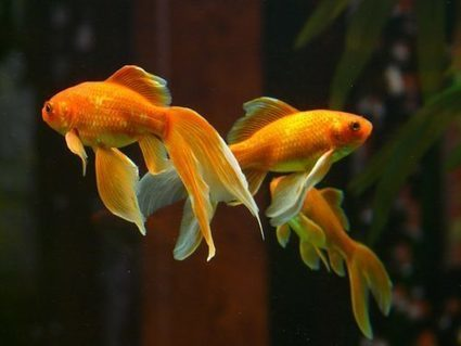 Fresh Water Fish Compatibility for a Happy Tank   Animal Bliss   Animal Welfare   Scoop.it