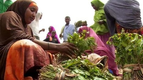 UK ban means Somalia flooded with low price Khat | Alcohol & other drug issues in the media | Scoop.it
