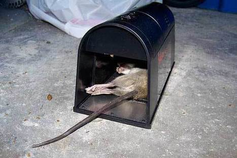 How to Catch a Rat - Best tips to trap rats - How To Get Rid Of Rats | Home Pest Control | Scoop.it
