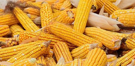 ¿Quién pierde y quién gana con el maíz transgénico? | Autosostenibilidad en el mundo | Scoop.it